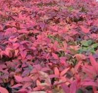 holly%2C_blue_rug%2C_nandina%2C_barberry_014.jpg
