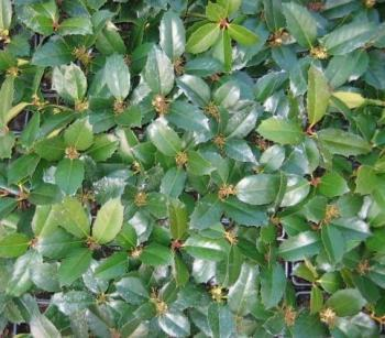 holly%2C_blue_rug%2C_nandina%2C_barberry_018.jpg
